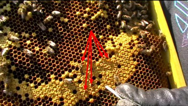 Вот так личинки восковой моли портят расплод