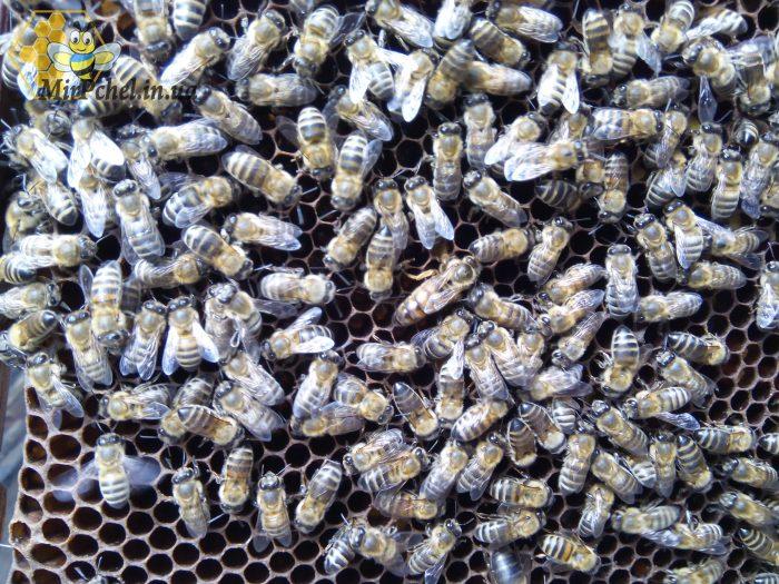 Качал мед, делал отводки на матках Бакфаст