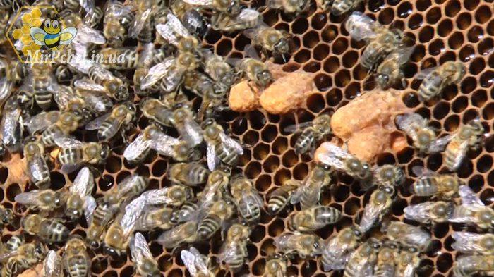 Как проверить есть ли матка, майский мед  и борьба с муравьями