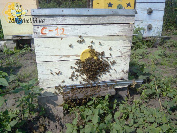 Пчелиное воровство на пасеке