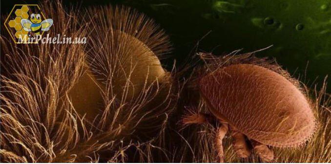 Клещ варроа на пчеле. Новые исследования.